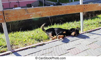 Homeless dog lying beside the road. - Black dog lying on...