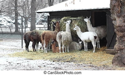 Group of llamas feeding in winter - Herd of llamas grazing...
