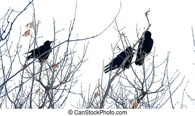 Three crows sit on the dry branches of a tree against the sky