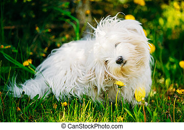 White Bichon Bolognese Dog Sitting In Green Grass and sniffs...