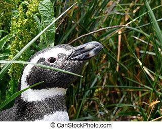 Magellan penguin near Ushuaia, Patagonia