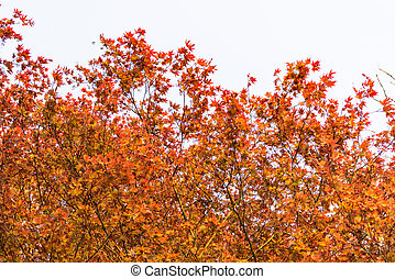 Fresh red acer tree leaves in springtime - Nature scene...