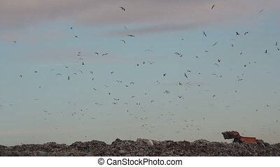 Flock of gulls over landfill garbage dump, animals feeding...