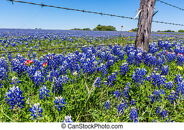 Texas Field Full of Bluebonnets. - A Wide Angle View of a...