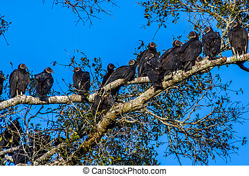 Turkey Vultures, or Buzzards - A Closeup Shot of Several...