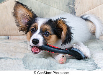 Young papillon - The puppy papillon gnaws brush for animals