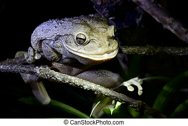Worlds Biggest Cuban Tree Frog at night The Cuban tree frog...