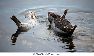 Two Seals On Rock Fussing Monterey - Two Seals Sharing Rock...