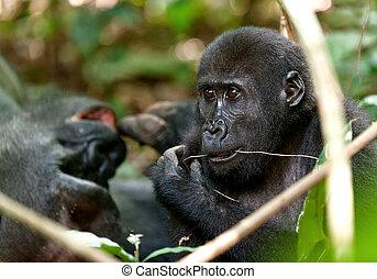 Portrait of eating western lowland gorilla (Gorilla gorilla...