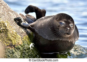 Ladoga ringed seal Pusa hispida ladogensis close up The...