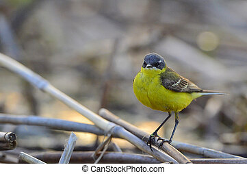 The western yellow wagtail (Motacilla flava)