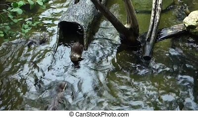 Otters swimming in the pond
