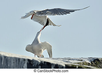 The Tern flies holding a beak a tail of other Tern. Closeup...