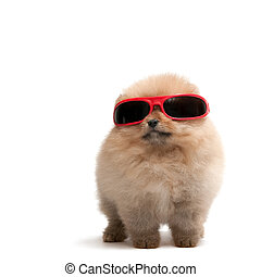 Pomeranian spitz in red sunglasses - A pomeranian spitz is...