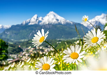 Beautiful blooming mountain flowers in snowcapped Alps in...