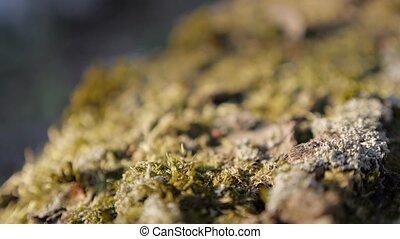 Shallow DOF green moss on sunlight slow panning