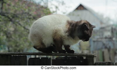Siamese Cat at Fence - Siamese deasesed cat at fence