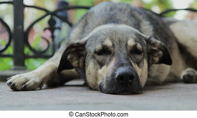 Big Dog Sleeping and Than Wake Up - Homeless big dog...