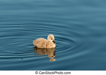 isolated cygnet swimming on lake - closeup of isolated...