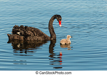 black swan guarding cygnet on lake