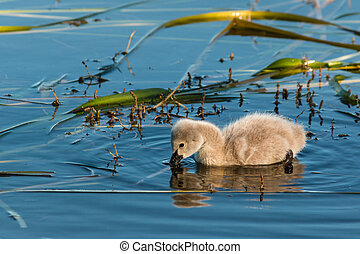 black swan cygnet feeding on aquatic plants