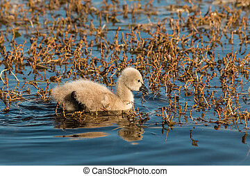 black swan cygnet on lake - black swan cygnet searching for...