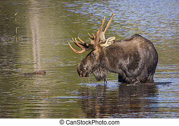 Large Bull Moose Foraging at the Edge of a Lake in Autumn -...