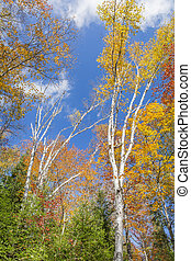 White Birch Trees in Autumn Against a Blue Sky - White Birch...