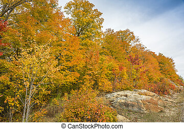 Sugar Maples Growing on Precambrian Shield in Autumn -...