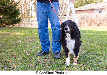 Post surgery dog goes for walk - A dog goes for a post...