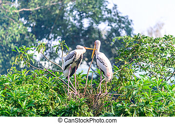 Milky stork, couple bird resting on tree after raining