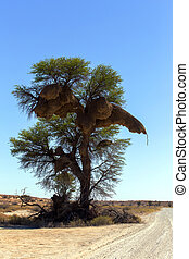 African masked weaver big nest on tree, african landscape,...