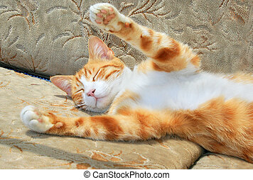 sueño, gato