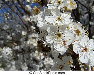 cherry tree in spring