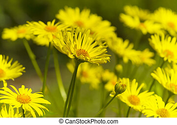 Beautiful yellow flowers in spring