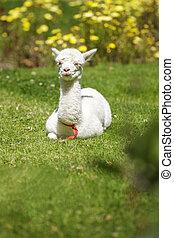 Baby llama lying down after feeding - Baby llama lying down...