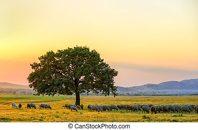sheeps near an oak in the sunset