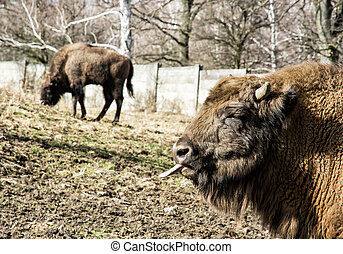 European bison Bison bonasus grazes the grass and tongue out...