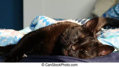 Cute sleeping black brown cat