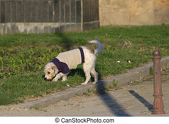 Dog sniffing - Cute fluffy dog in sweater walking on grass...