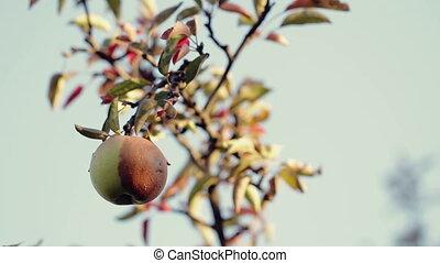 Half- Rotten Apple on a Tree - Rotten apple on a tree
