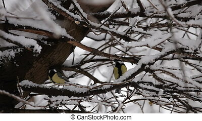 Two Bright Titmice Perching On Winter Tree - This is a shot...