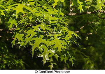 sunlit oak tree leaves - closeup of sunlit oak tree leaves