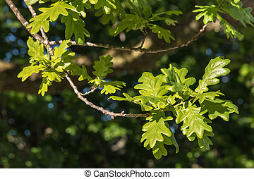 closeup of common oak tree leaves - closeup of English oak...