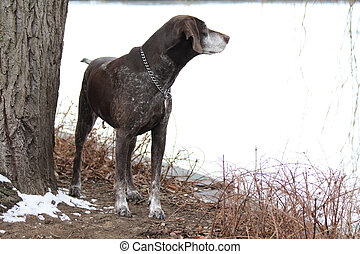A senior female german shorthaired pointer on the winter...