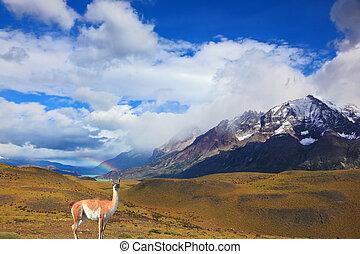 Beautiful guanaco - Lama - Beautiful day in early autumn in...