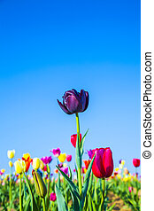 field with blooming colorful tulips - Spring field with...