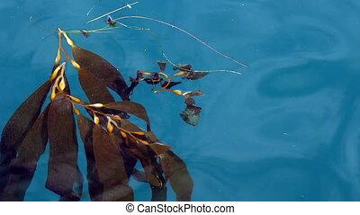 Seaweed Floating In Gentle Waves Mo - Seaweed Riding Gentle...