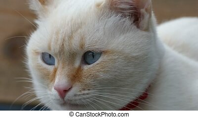 white cat face blue eyes portrait of muzzle - white cat face...