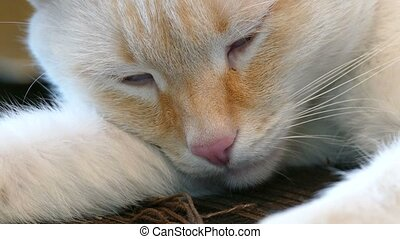white adult cat sleeping eyes closed - white adult cat...